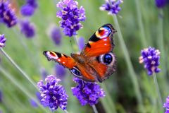 Close Up View Of A Beautiful Peacock Butterfly On Lavender Flower Stock Photo
