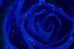 Free Close Up View Of A Beautiful Rose With Drops Of Water. Macro Image. Fresh Beautiful Flower. Classic, Blue Monochrome, Trend 2020. Stock Photography - 166252152
