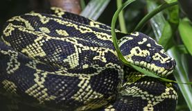 Free Close-up View Of A Jungle Carpet Python Royalty Free Stock Photography - 161842227