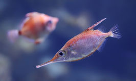 Free Close-up View Of A Longspine Snipefish Stock Image - 36982551