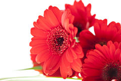 Free Close Up View Of The Red Daisy Royalty Free Stock Photo - 13182635