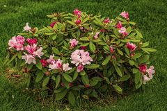 Close up view ofrhododendron flower blooming on green grass background. stock image