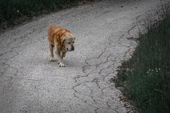 Close up view of an old sad yellow dog walking royalty free stock images