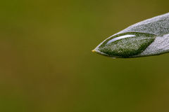 Close-up view of olive leaf with water drops after rain Royalty Free Stock Images