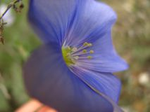 Close up view of one blue Flax flower. Beautiful Wild Western Blue Flax flowers or Linum lewisii stock image