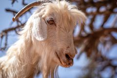Close up view of one goat head. stock images