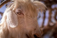 Close up view of one goat head. stock image