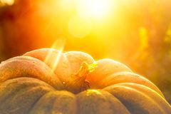 Close up view of one pumpkin in the sunset stock images
