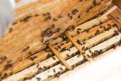 Close up view of the opened hive body showing the frames populated by honey bees.  Royalty Free Stock Photo
