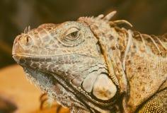 Iguana. Close-up view of orange iguana Stock Photos