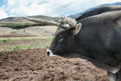 Close up view of an ox and a fresh plowed land in Urubamba Valley Stock Image