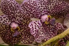 Beautiful Purple Speckled Orchids stock photography