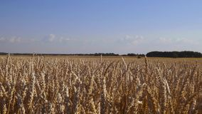 Close up view of part of wheat field.  Summer background. Agriculture concept.  stock footage