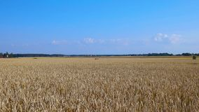Close up view of part of wheat field.  Summer background. Agriculture concept.  stock video footage