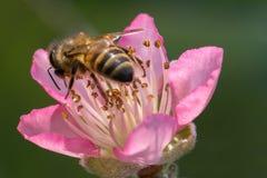 Peach blossom flower stock images