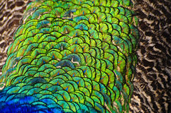 Close-up view of peacock feather Royalty Free Stock Photography