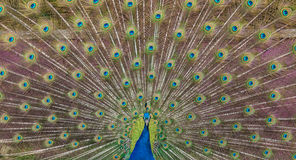 Peacock display Stock Photography