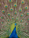Peacock display. Close up view of a peacock showing feathers Royalty Free Stock Image