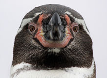 Close-up view of a Penguin Royalty Free Stock Image
