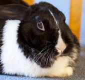 Close up view of pet rabbit Royalty Free Stock Image