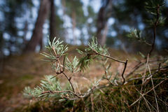 Close up view of a pine branch. Green pine branch in the wood, close up shot Royalty Free Stock Images