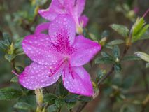 Close up view of pink Autumn Royalty Encore Azalea flower with water dew drops, selective focus, vivid colors.  stock photos