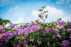Close up view of pink bougainvillea. At a park looking up on a summer day Stock Photos