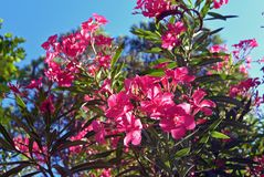 Close up view pink oleander or Nerium flower blossoming on tree. Beautiful colorful floral background Royalty Free Stock Photo