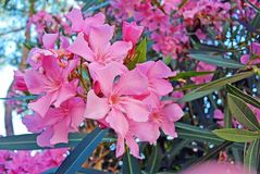 Close up view pink oleander or Nerium flower blossoming on tree. Beautiful colorful floral background Royalty Free Stock Image