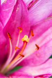 Close up view on the pistil and stamens inside pink lily. Royalty Free Stock Photos