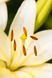 Close up view  the pistil and stamens inside white lily. Royalty Free Stock Images