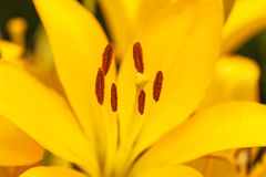 Close up view on the pistil and stamens inside yellow lily. A closeup view with selective focus emphasis on the pistil and stamens inside a yellow lily stock image