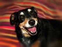 Happy, smiling, playful dog. A close up view of a playful happy, smiling dog Royalty Free Stock Photo