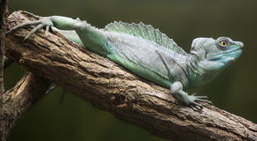 Close-up view of a Plumed basilisk Stock Photos