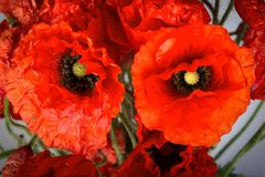 Poppy flowers, close up view Royalty Free Stock Photos