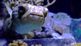 Close-up view of a puffer fish swimming slowly