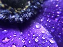 Raindrops on a purple Anemone flower Royalty Free Stock Photo