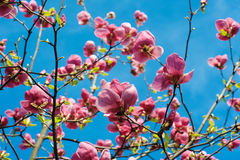 Close-up view of purple blooming magnolia in spring botanical garden Royalty Free Stock Images