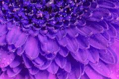 Close up view of a purple Gerbera daisy flower Stock Photography
