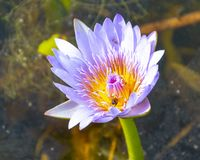 A Water Lily stock image