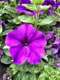 A close up view of a purple petunia flower. stock photos