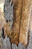 Quercus suber bark texture. Close up view of a quercus suber tree bark texture royalty free stock photo
