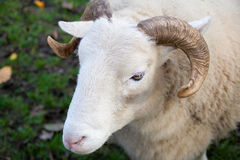 Close up view of a ram. Standing in a field Stock Photo