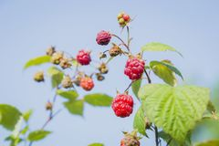 Close-up view of the raspberry. In the fruit garden Royalty Free Stock Photography