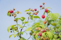 Close-up view of the raspberry. In the fruit garden Stock Photo