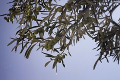 Close up view of raw olives on tree. With clear, blue sky background Stock Photos