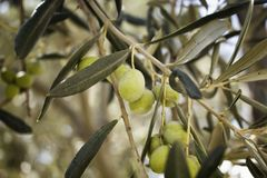Close up view of raw olives on tree. In Cunda Stock Photo