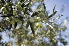 Close up view of raw olives on tree. And sun rays with clear, blue sky background Stock Image