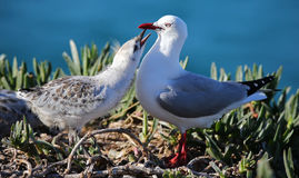 Close-up view of a Red-billed gull feeding chick Stock Photo