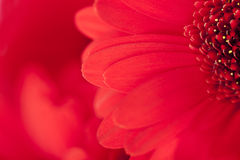 Close up view of the red daisy Royalty Free Stock Images